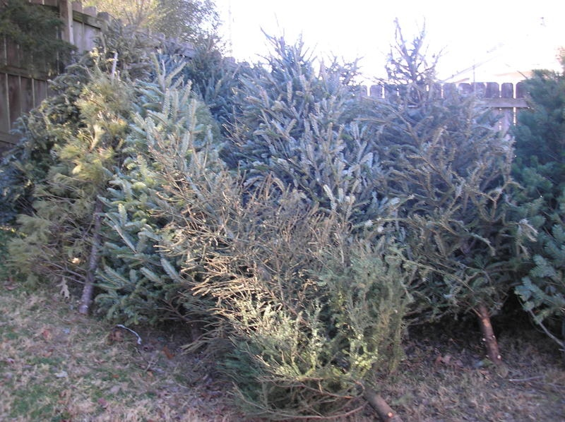 christmas trees for honey hole